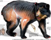 Conozca al oso andino