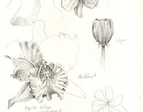 Nature illustration/Bees and Orchids
