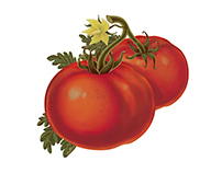 Illustrations for sauce and olive
