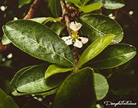 Flor de Branco