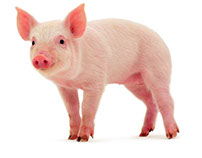 Ttechnological development in the pig sector Venezolano