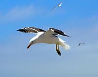 Chilean Gulls & Pelicans