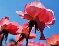 Rosa rosa tan maravillosa