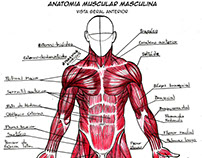 Male Muscular Anatomy (front view)