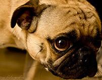 Ozzy, the Pug