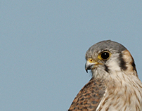 Guía de aves de parques y plazas