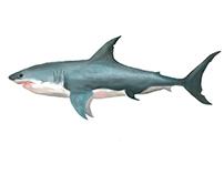 Tiburon.